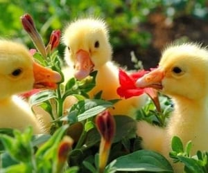 duck, spring, and animal image