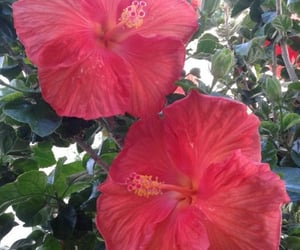 flowers, garden, and hibiscus image