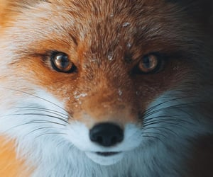 animals, wallpapers, and fox image