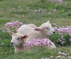 animal, sheep, and nature image
