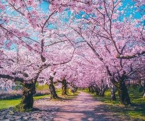 blossom, cherry blossom, and park image