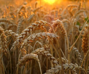 agriculture, cereal, and close-up image