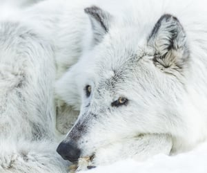 animals, wolves, and photography image
