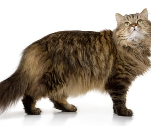 long haired cat image