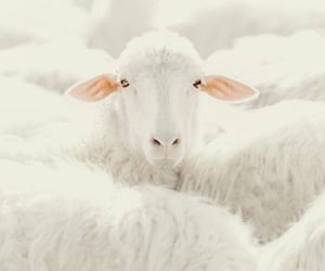 cute and white sheeps image