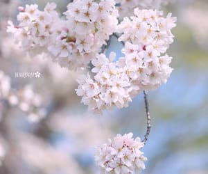 japan, spring, and 桜 image