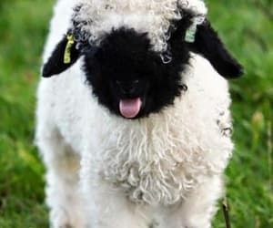 sheep, cute, and animal image