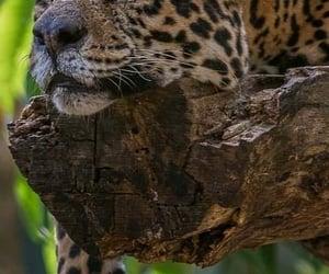 Animales, leopardo, and naturaleza image