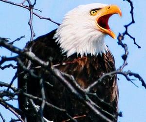 angry, eagle, and wildlife image