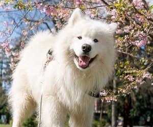 dog, summer, and Samoyed image