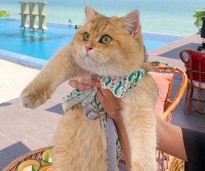 adorable, Chinchilla, and gato image