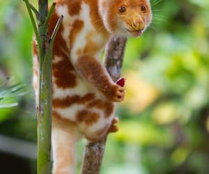 gabi, common spotted cuscus, and what a cutie pie ! image