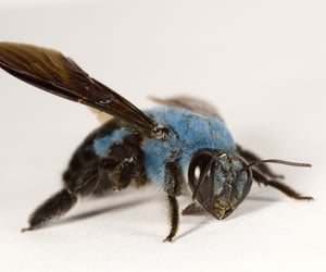 bee, blue, and insect image