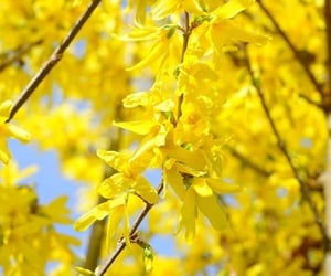 flores, flowers, and forsythia image