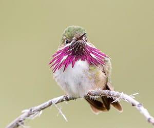 bird and caliope hummingbird image
