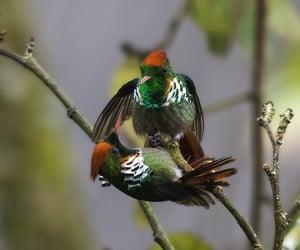brasil, birds, and hummingbird image
