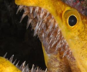 dem teefs and the moray eel image