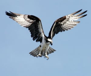 bird, black and white, and eagle image