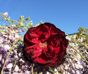 flower, lila, and red image