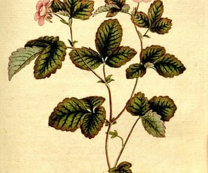 botany, flowers, and #bhlcurtis image