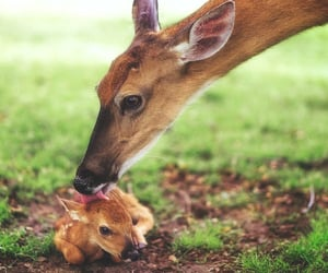Gentle Mother bathing her Newly born Fawn