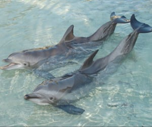 dolphin, animal, and water image