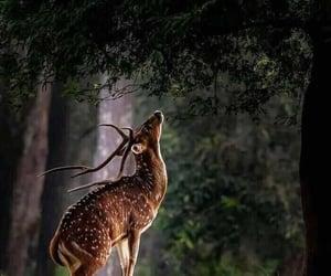 Solo deer