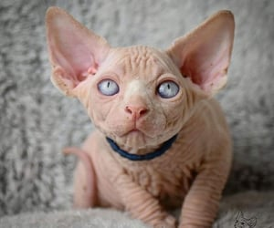 cats, animals, and sphynx image