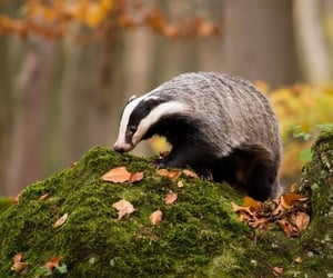 wildlife, badgers, and rodents image