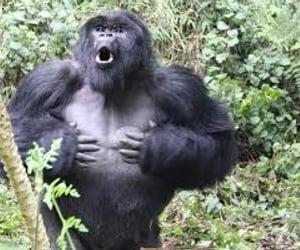 animals, gorilla, and photography image