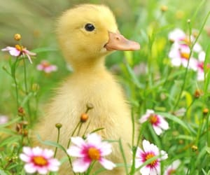 spring, duckling, and cute image