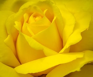 Yellow Rose by Clifford Turner 500px.com