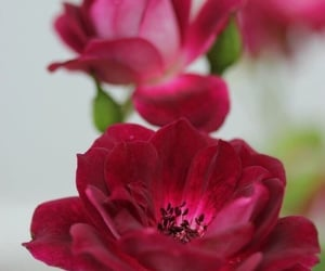 beautiful, rose, and red flower image