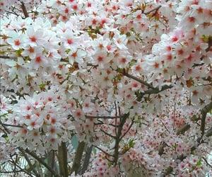 magnifique, cerises, and japon image