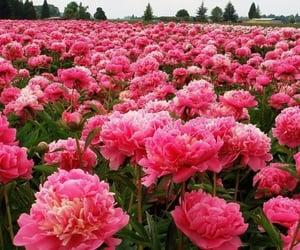 Пионы розовые цветы