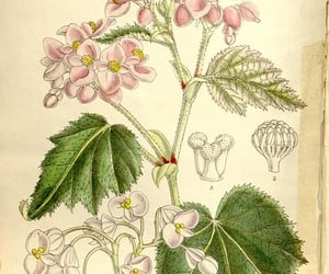 botanical illustration, botany, and periodicals image