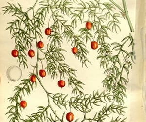 botanical illustration, artist:name=matilda smith, and botany image