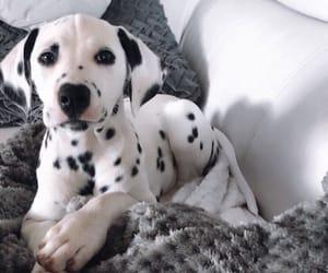 dalmatian, dog, and pet image