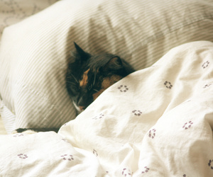 animal, bed, and cat image