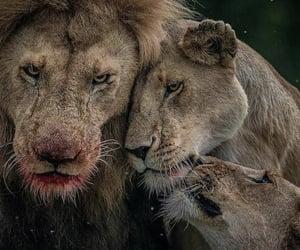 animal, life, and lion image