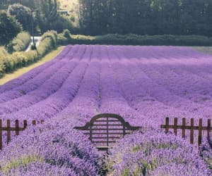 flower field, flowers, and lavender image