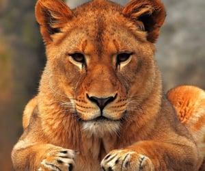 lion, animal, and big cat image
