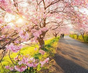 blossom, cherry blossom, and flower image
