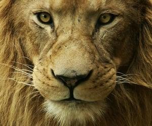 animal, king, and wallpaper image