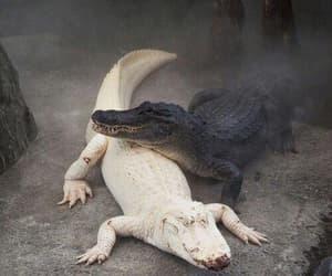 animal, crocodile, and nature image