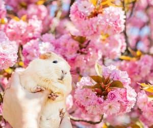 animals, cherry blossom, and guinea pig image