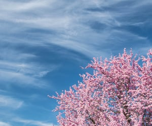 blue, cherry blossom, and clouds image