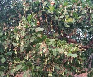 cashew, cashew tree, and cashew apple image