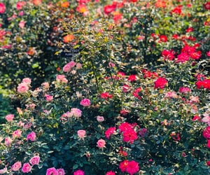 red, background, and rose garden image