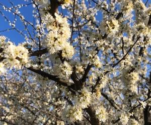 aesthetic, blossom, and cherryblossom image